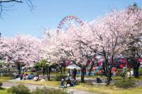 魚津総合公園の桜