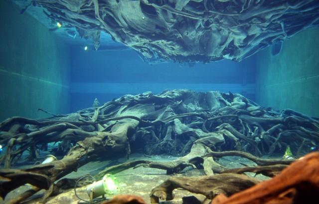 埋没林水中保存樹根.jpg