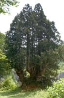 洞杉2.jpg