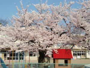 青島保育園のさくら
