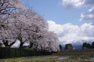 9・本江・印田・低区配水池の桜と僧ヶ岳-1.jpg