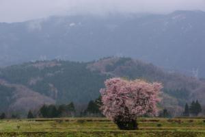 11・西布施・長引野・田園の一本桜-1.jpg