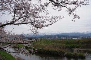 13・本江・大光寺・魚津八幡宮の桜と立山連峰-1.jpg