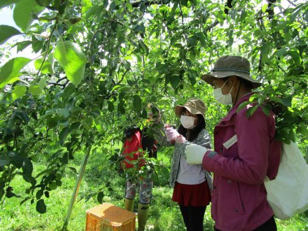 りんご親子摘果